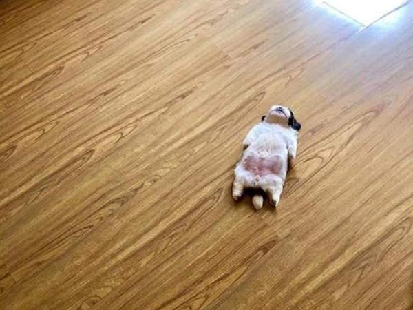 呆萌小奶狗竟然靠这个睡姿走红网络,神仙睡姿好似装死